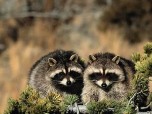raccoon wallpapers 6
